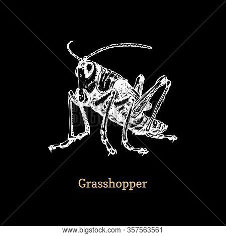 Illustration Of A Grasshopper. Drawn Insect In Engraving Style. Sketch In Vector.