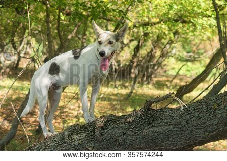 Cross-breed Of Hunting And Northern White Dog Standing On A Tree Branch In Autumnal Forest And Looki