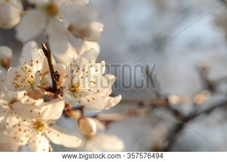 Spring flowers on tree branch sunrise sunset Nature background Nature background Nature background macro flower spring dawn Nature background Close-up Fresh Nature background sun color twig Nature background White flowers trees outdoor.