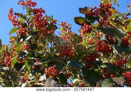 Scarlet Red Berries In The Leafage Of Sorbus Aria Against Blue Sky