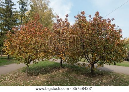 Triplet Of Sorbus Aria Trees With Autumnal Foliage In October