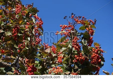 Upright Branches Of Sorbus Aria With Autumnal Foliage And Red Berries Against Blue Sky