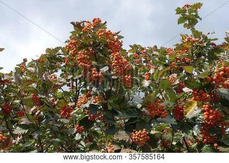 Vibrant Orange Berries In The Leafage Of Sorbus Aria In September