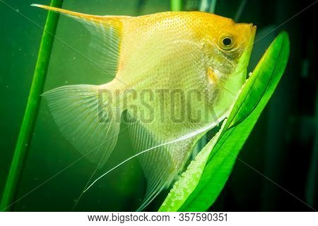 Gold Pterophyllum Scalare In Aqarium Water, Yellow Angelfish Guarding Eggs. Roe On The Leaf