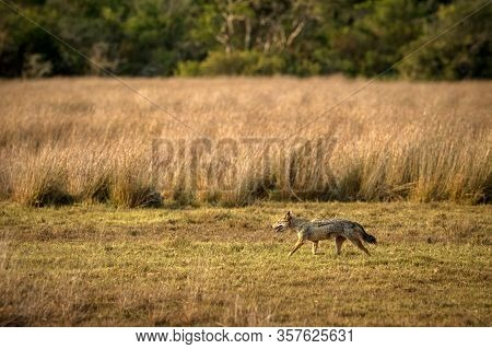 Golden Jackal, Canis Aureus In The Grass, Sri Lanka, Asia. Beautiful Wildlife Scene From Nature Habi