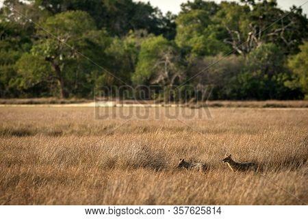 Two Golden Jackals, Canis Aureus In The Grass, Sri Lanka, Asia. Beautiful Wildlife Scene From Nature