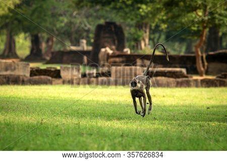 Gray Langurs, Sacred Langurs, Indian Langurs Or Hanuman Langurs In Sacred City Anuradhapura, Female