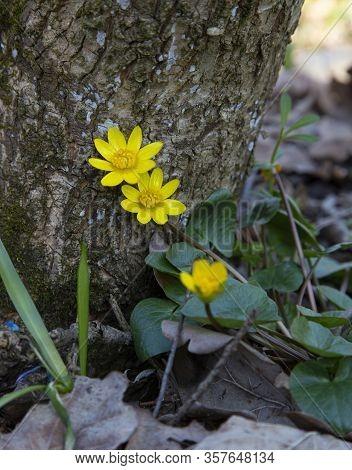 Beautiful Yellow Wood Anemone Flower, Anemone Ranunculoides, On Blurred Nature Background. Macro Pho