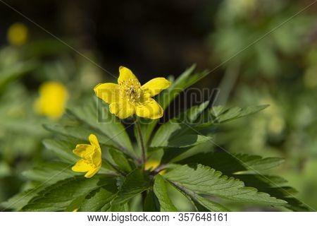 Beautiful Yellow Wood Anemone, Anemone Ranunculoides, On Blurred Nature Background. Macro Photo, Sel