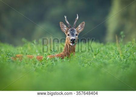 Alert Roe Deer Buck Grazing Hidden On Clover Field In Summer.