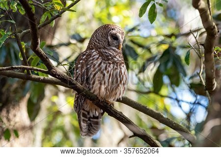 A Lone Barred Owl In A Tree.