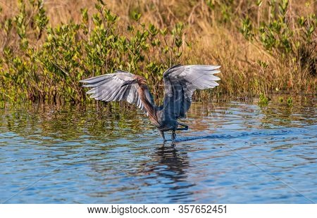 Tricolored Heron Flapping Its Wings And Wading In A Swamp.