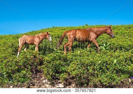 A Horse And A Foal Graze On A Green Hillside. Red Horse And Foal Graze On The Hillside.