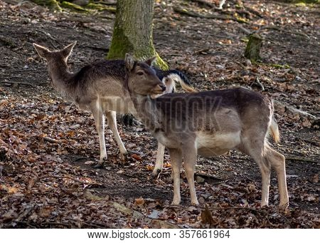 Two Deer In The Forest Park - One Watching Me And One Ignoring Me