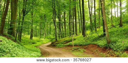 Panorama of a path through a lush green summer forest