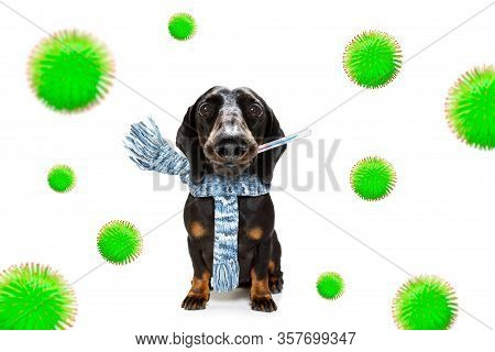 Sick And Ill Dachshund Sausage Dog  Isolated On White Background With  Thermometer  And Viral Corona