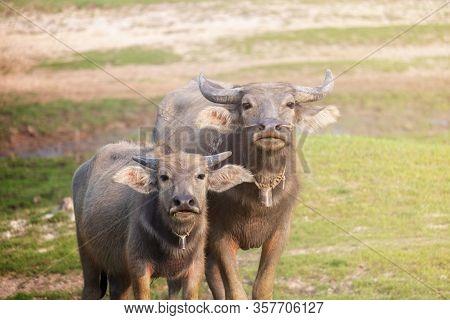 Baby Buffalo Buffalo On Green Grass And Looking At Camera