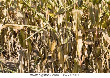 Dry Dark Yellow Corn Stalks With Ripe Hard Buds And Seeds, Used For Silage And Preparation Of Animal