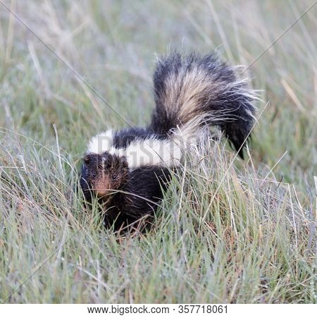 Striped Skunk With Muddy Face After Being Interrupted Digging. Monte Bello Open Space Preserve, Sant