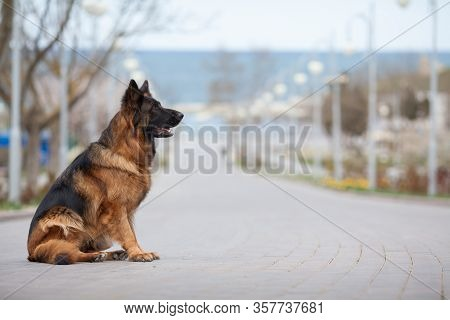 German Shepherd In Profile Beautiful Portrait. The Concept Of Veterinary Medicine, Goods For Dogs, D