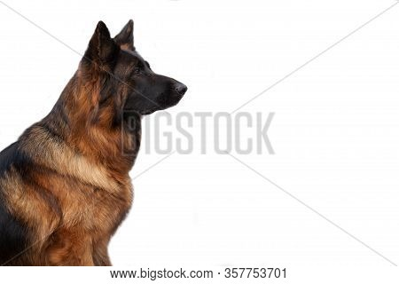 German Shepherd In Profile Beautiful Portrait Of Isolate On A White One. Concept Veterinary Medicine