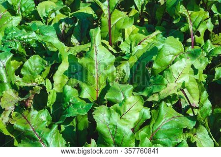 Beetroot Leaves, Fresh Beet Leaf Us Background. Beet Green Leaves In Field. Beet Leaves Growth In Or