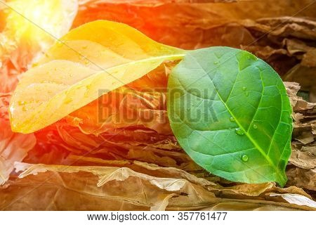 Tobacco Leaf Plant, Tobacco Planting Garden Agriculture Farm In Countryside, Green Leaves On Stem Pl