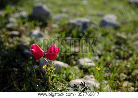 Anemone Coronaria, The Poppy Anemone, Spanish Marigold Or Windflower