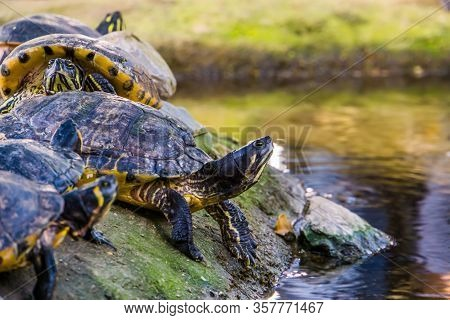 Closeup Of A Yellow Bellied Cumberland Slider Turtle At The Water Side, Tropical Reptile Specie From