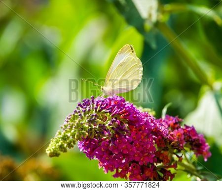 Beautiful Macro Closeup Of A White Cabbage Butterfly, Common Insect Specie From Europe