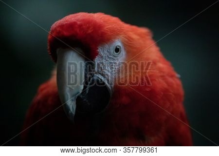 Close Up Face Portrait Of An Adult Scarlet Macaw In The Dark