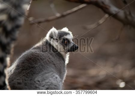 Face Portrait Of A Beautiful Adult Of A Ring Tailed Lemur At Sunset