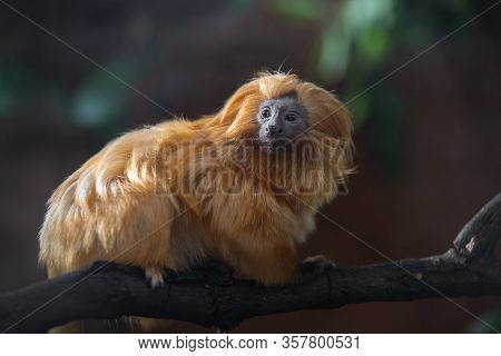 Portrait Of A Cute Golden Lion Tamarin In The Dark