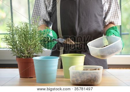 Man re-potting a rosemary into a flower pot