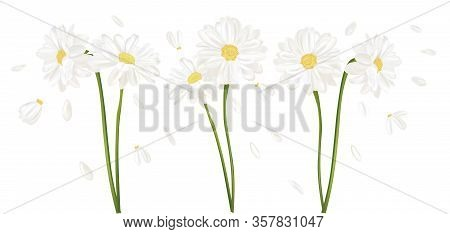 3d Realistic Chamomile Flower. Chamomile Isolated On White Background. Fragrant Bunch Chamomile. Flo