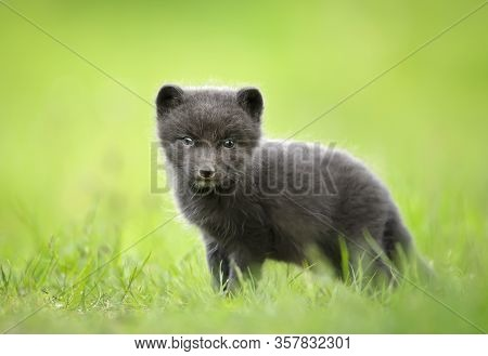 Close-up Of A Cute Arctic Fox Cub In The Meadow, Iceland.