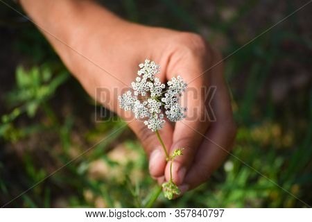Cumin Plant In Hand At Field. Cumin Is One Of The Oldest Spices.