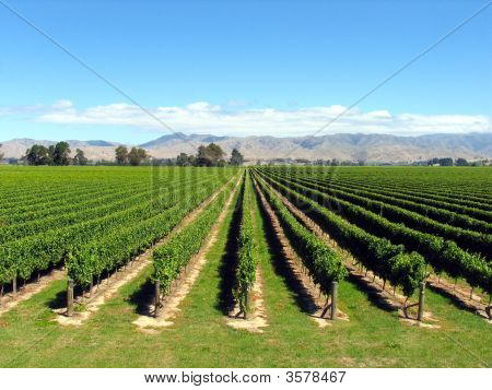 Grape Orchard