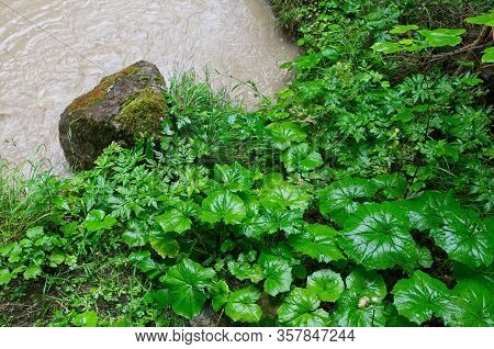 Petasites Hybridus, The Butterbur, Is A Herbaceous Perennial Flowering Plant In The Daisy Family Ast