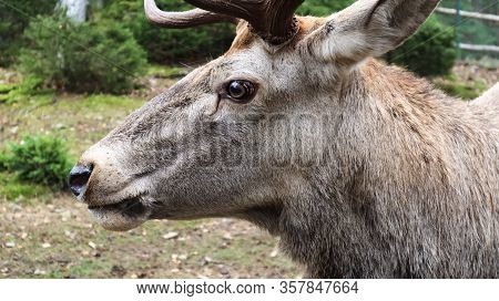 White-tailed Deer Very Detailed Close-up Portrait. With A Deer Eye. Ungulates Ruminant Mammals. Port