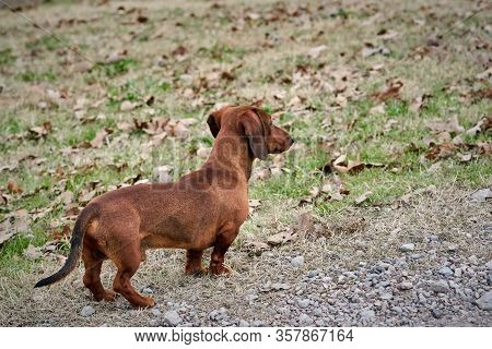Dachshund, Wiener Dog, Looking Off Into The Distance, Waiting For His Owner / Guardian