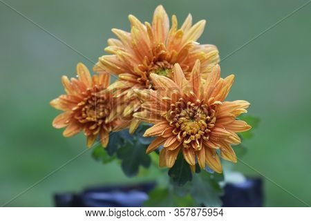 Dews On Petals Of Yellow Orange Chrysanthemums Or Fall Mums Blooming In Pot Container With Water Dew