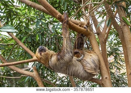 Cute Brown-throated Three-toed Sloth Crawling On A Tree