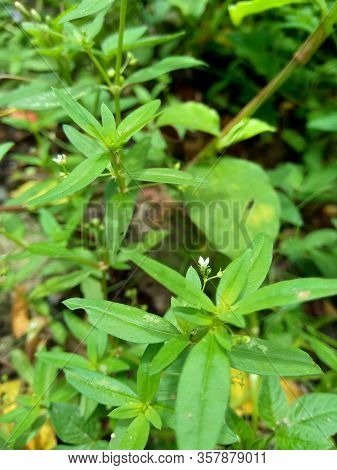 Hedyotis Corymbosa In Nature Background. Useful In Gastric Irritability, Nervous Depression, Liver C