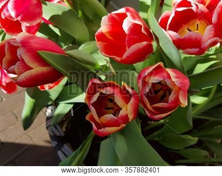 Bright Bunch Of Red Dutch Tulips Flowers