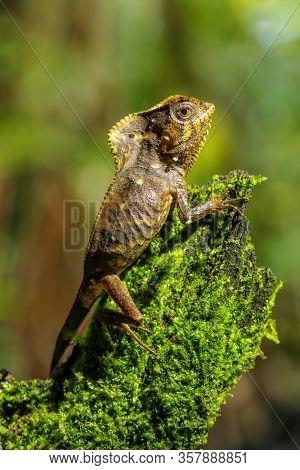 Female Smooth Helmeted Iguana (corytophanes Cristatus) Sitting On A Stump, Costa Rica
