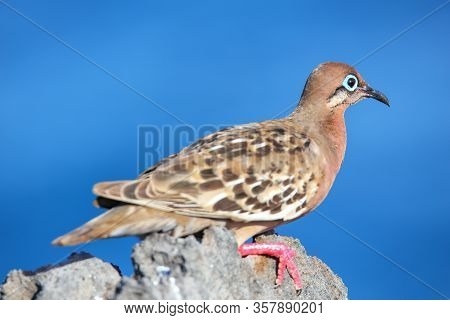 Galapagos Dove (zenaida Galapagoensis) On Espanola Island, Galapagos National Park, Ecuador. It Is E
