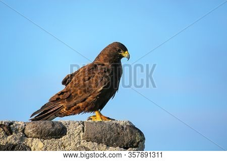 Galapagos Hawk (buteo Galapagoensis) On Espanola Island, Galapagos National Park, Ecuador. It Is End