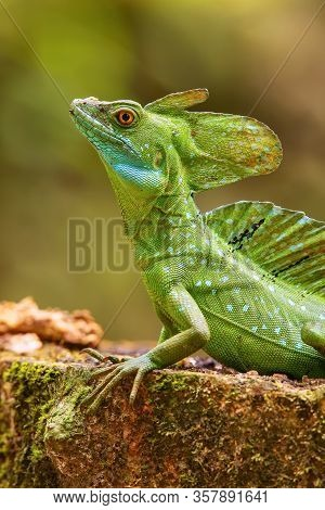 Male Plumed Basilisk (basiliscus Plumifrons) Sitting On A Stump, Costa Rica