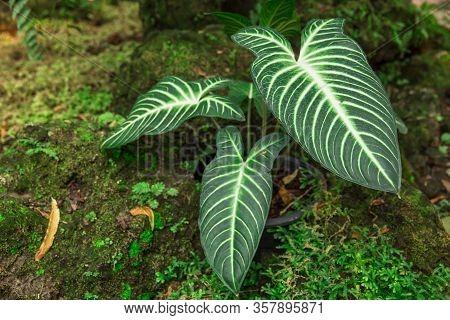 Hosta Plant In The Garden. Closeup Green Leaves Background. Hosta - An Ornamental Plant For Landscap